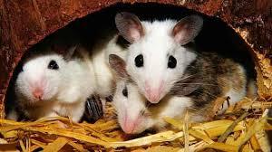 Mice in nest